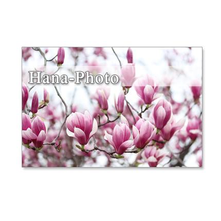 1063)マグノリア、ロドレイア、コブシ、杏の花たち  Postcard 5枚組