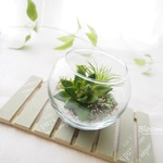 ~ 多肉植物 ( Succulent )  in glass ball ~