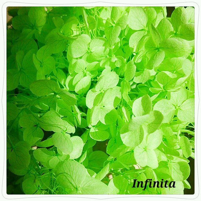 再販×4☆送料込み♪ドライフラワー紫陽花(アジサイ)☆春の芽生え(淡グリーン)