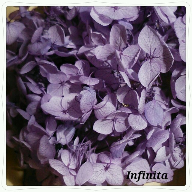 再販×5☆送料込み♪ドライフラワー紫陽花(アジサイ)☆パープル