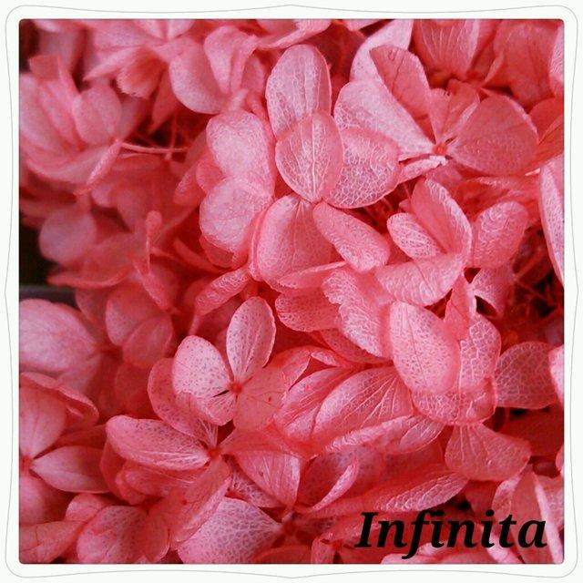 再販×6☆送料込み♪ドライフラワー紫陽花(アジサイ)☆ストロベリー