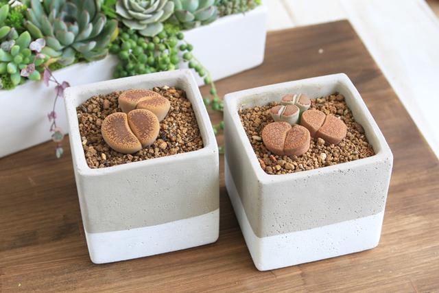 【1点もの】レアな多肉植物 リトープス寄せ植え