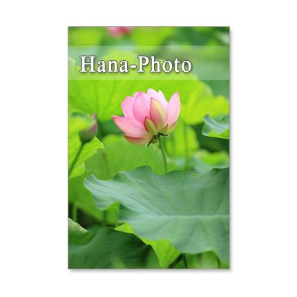 1074) 蓮の花、水連、水の風景   セット 5枚選べるポストカード