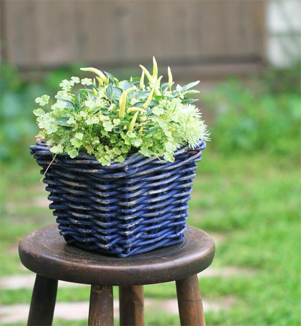 斑入りのトウガラシと朝霧草の寄せ植え