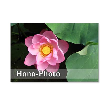 1068) 蓮の花  セット 5枚選べるポストカード