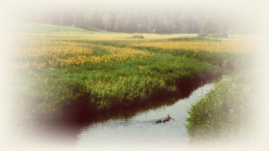 和紙アートフォト【黄花の湿原のカルガモ】